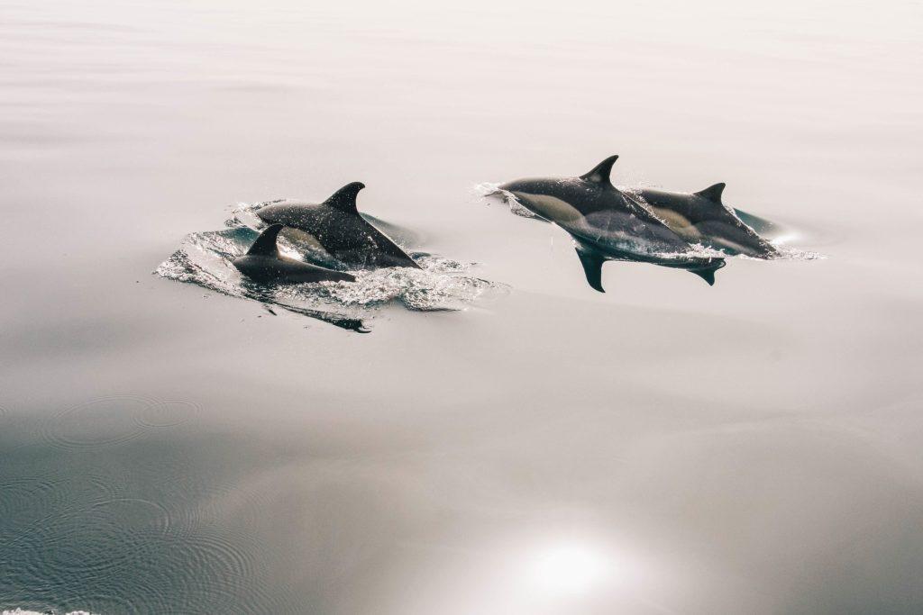 Pourquoi les dauphins suivent les bateaux?
